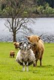 Klaxons et klaxons - forme et bétail, Ecosse Photos libres de droits