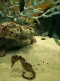 Klcc pequeno dos aquários dos peixes marinhos do cavalo marinho Imagens de Stock