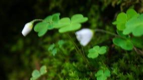 Klee auf weißer Blume des Mooskissens stockfotos