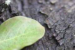 Klee-Blätter für grünen Hintergrund mit drei-leaved Shamrocks lizenzfreie stockfotografie