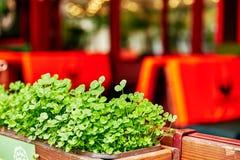 Klee-Blätter für grünen Hintergrund mit drei-leaved Shamrocks St Patrick stockfotos