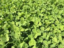 Klee-Blätter für grünen Hintergrund mit drei-leaved Shamrocks lizenzfreie stockfotos