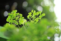 Klee-Blume Lizenzfreies Stockfoto