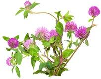 Klee-Blumen Lizenzfreie Stockbilder