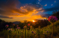 Klee-Blumen am Sonnenuntergang-Mammutbaum-Nationalpark Stockfoto