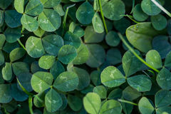 Klee im Gras Stockfoto