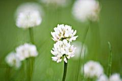 Klee im Gras Lizenzfreies Stockbild