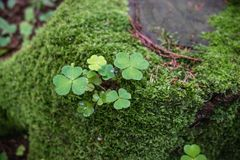 Klee im Moosbaum Lizenzfreies Stockfoto