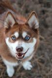 Klee Kai d'Alaska photos libres de droits