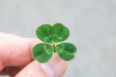 Klee 4-leaf in den Fingern mit grauem Hintergrund Stockfoto
