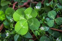 Klee 4-leaf und weiße Blumen Lizenzfreie Stockfotos