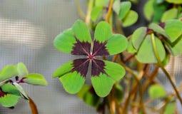 Klee mit vier Blättern, grüner Blattklee, glücklicher Symbolabschluß oben Stockfoto