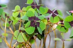 Klee mit vier Blättern, grüner Blattklee, glücklicher Symbolabschluß oben Stockfotografie
