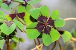 Klee mit vier Blättern, grüner Blattklee, glücklicher Symbolabschluß oben Lizenzfreie Stockfotos