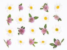 Klee und Gänseblümchen Stockfoto