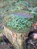 Klee w lesie Obraz Stock