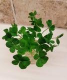 Kleebündel mit vier Blättern Lizenzfreie Stockfotos