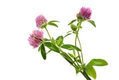 Kleeblume auf einem grünen Stiel lizenzfreies stockfoto