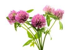 Kleeblume auf einem grünen Stiel stockbilder