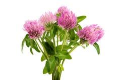 Kleeblume auf einem grünen Stiel lizenzfreie stockfotografie