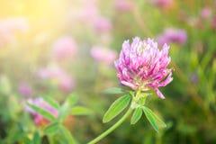 Kleeblume in einer Wiese an einem Sommertag Stockfotografie