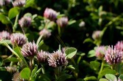 Kleeblumenblühen Lizenzfreie Stockfotos