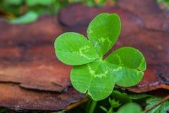 Kleerecht mit vier Blättern mit hölzernem Hintergrund Stockfotos
