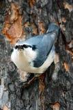 Kleiber auf dem Baum Stockfoto
