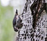 Kleiber, der nach Lebensmittel auf dem Baum sucht Lizenzfreie Stockbilder