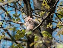 Kleiber Sitta auf einem Baumast Stockfoto
