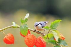 Kleibervogel, der auf einer schönen Niederlassung von Physalis sitzt Stockbild