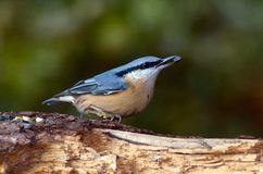 Kleibervogel (Sitta europaea) Lizenzfreie Stockfotos