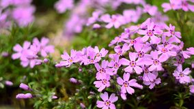 Klein bloemen het bloeien floxroze met stock footage