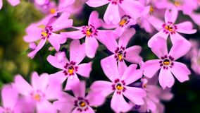 Klein bloemen het bloeien floxroze met stock video