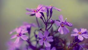 Klein bloemen het bloeien floxroze met stock videobeelden