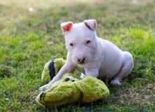 Klein bull terrier-puppy met een stuk speelgoed op het gras Stock Afbeeldingen