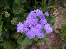 Klein Bush van bloemen van ageratum royalty-vrije stock fotografie