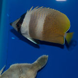 Klein-Butterflyfish Lizenzfreie Stockfotos