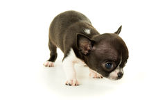 Klein chihuahuapuppy stock afbeelding