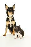 Klein chihuahuapuppy en zijn moeder stock foto