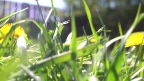 Klein dierlijk schepsel die een gras doornemen die door sleep wegrennen - POV-standpunt stock footage