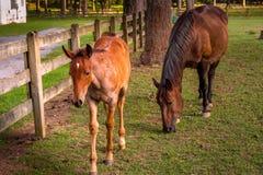 Klein en groot paard die gras eten bij landbouwbedrijf in zuidoostenverenigde staten stock afbeeldingen