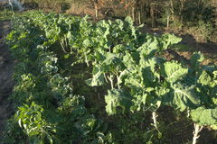 Klein gebiedshoogtepunt van groenten in organisch landbouwbedrijf Royalty-vrije Stock Foto