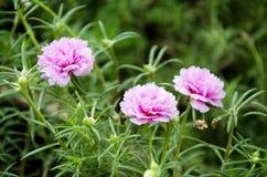 Klein Gemeenschappelijk bloemenroze Royalty-vrije Stock Foto's