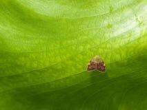 Klein Gevleugeld Insect op de Onderkant van het Grote Blad Royalty-vrije Stock Fotografie