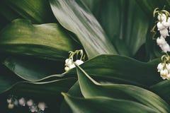 Klein gevoelig wit lelietje-van-dalen onder donkergroene bladeren in de de lentetuin stock foto