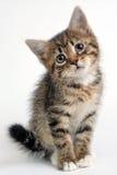 Klein grijs katje op een witte achtergrond Royalty-vrije Stock Fotografie