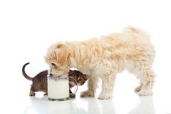 Klein hond en katje die naar dezelfde melk hunkeren Stock Fotografie