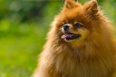 Klein hondportret Royalty-vrije Stock Afbeeldingen