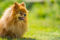 Klein hondportret Stock Foto's